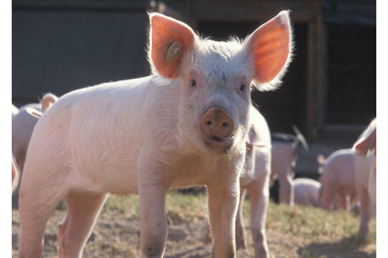 Schwein gehabt. Dieses Ferkel lebt artgerecht auf einem Biohof.