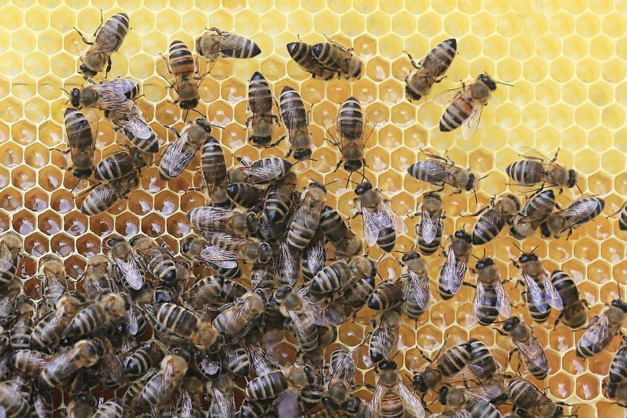 Fleißige Bienchen auf einer Honigwabe. Quelle: pixabay.com
