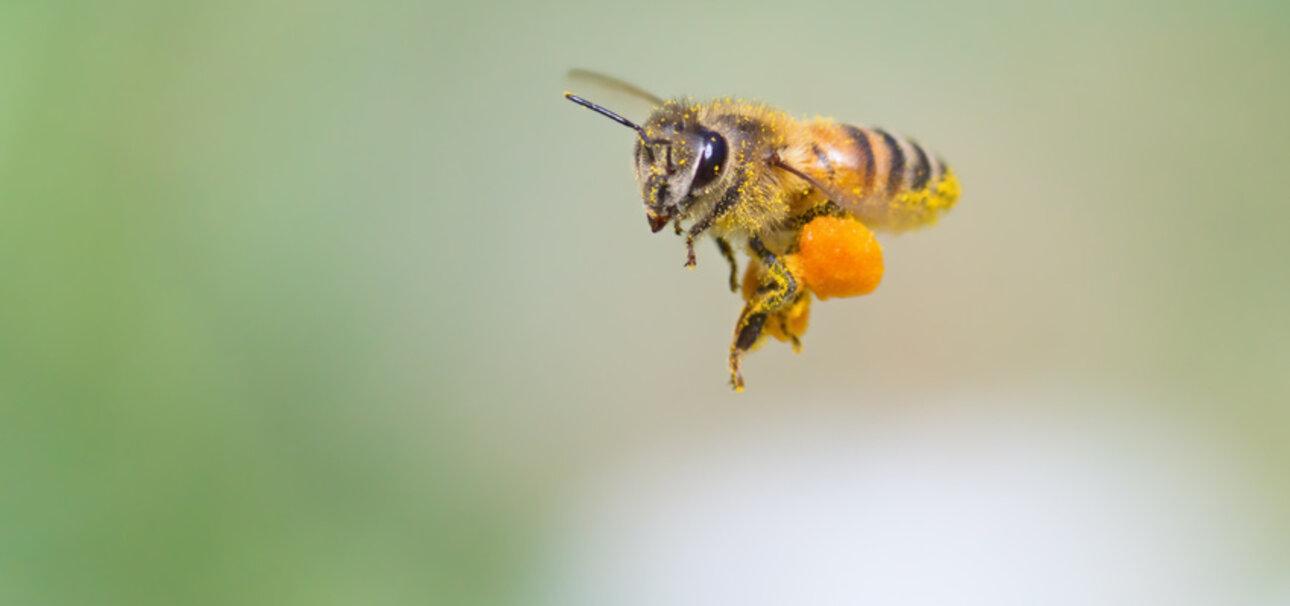 Schwer mit Pollen beladen, geht es zurück zum Bienenstock. Leider ist der Tisch für die Bienen auf Land oftmals nicht so reich gedeckt. Copyrigt sumikophoto - stock.adobe.com
