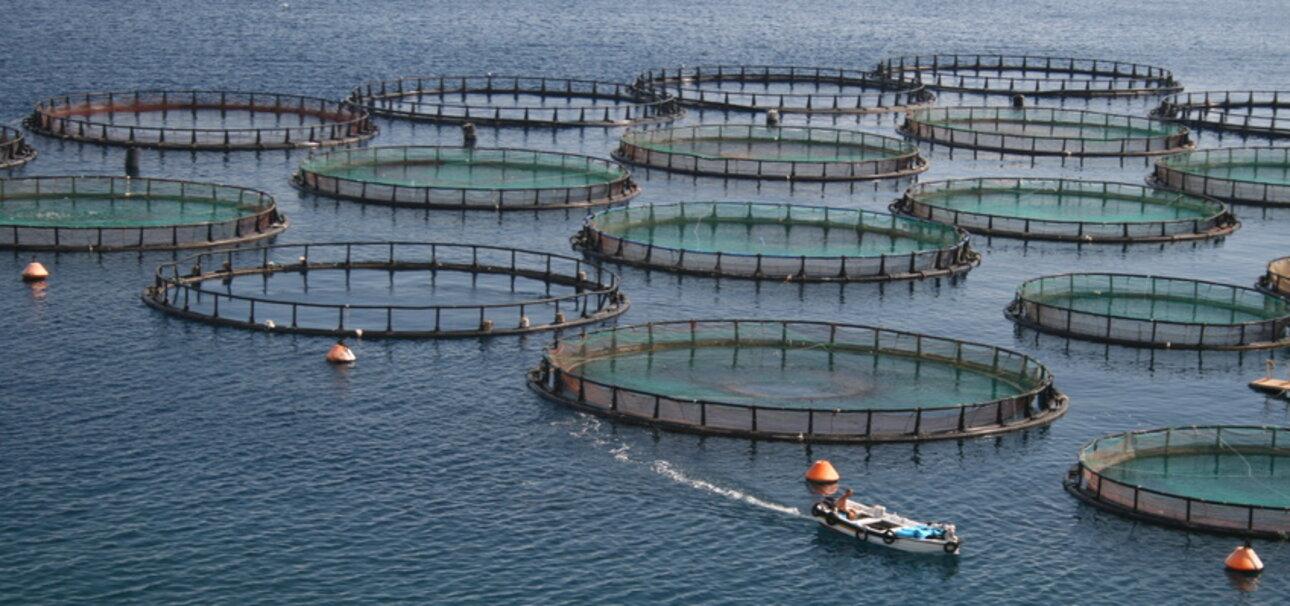 Weil viele Fische in ihrem Bestand bedroht sind, entstehen immer mehr Aquakulturen.
