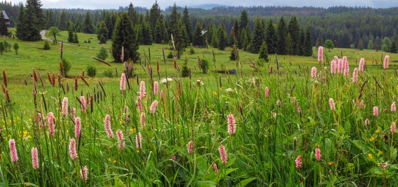 Der Wiesenknöterich soll leben - Biobauern unterstützen die Artenvielfalt