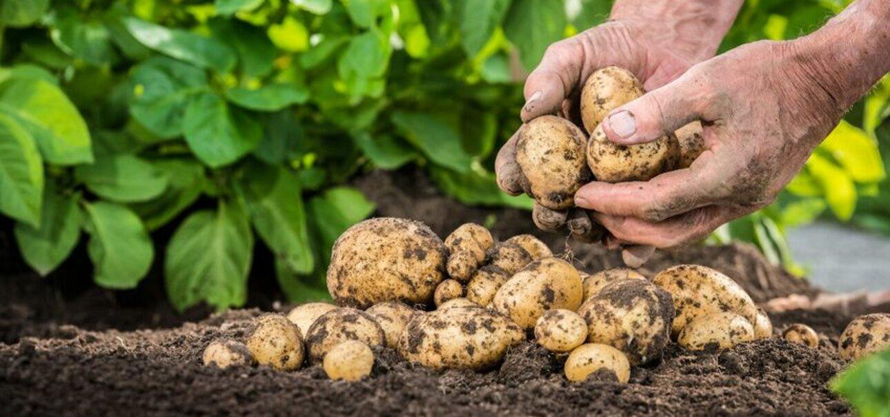 Kartoffeln wachsen in der Erde auch ohne tierische Düngemittel