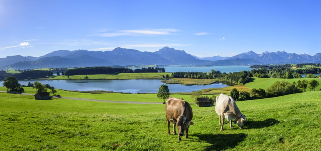 Bio-Bauern lassen ihre Kühe auf der Weide grasen. Copyright www.fotolia.de