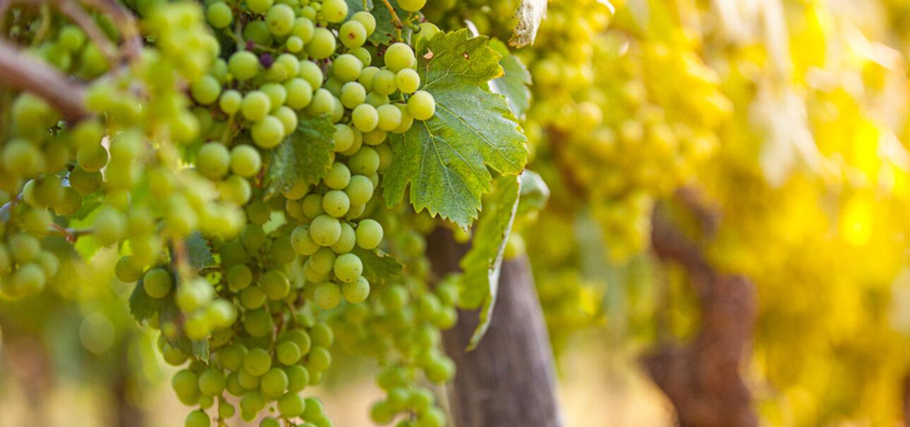 Pestizide aus dem Weinberg können auch im Wein landen. Copyright Lukas Gojda - Fotolia